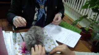 Персидский котенок Августа Сандра