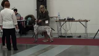 Монопородная выставка курцхааров. Балтийский триумф 2019