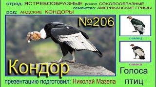 Кондор. Голоса птиц