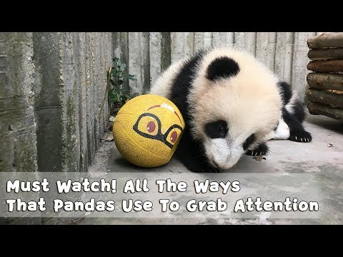 Must Watch 2 ! All The Ways That Pandas Use To Grab Attention | iPanda