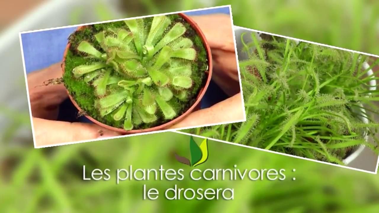 Plante carnivore le drosera jardinerie truffaut tv for Plante truffaut