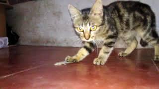 Download Video Beginilah permainan kucing kampung yang konyol MP3 3GP MP4