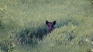 Охота #36 вышли кабаны на поле