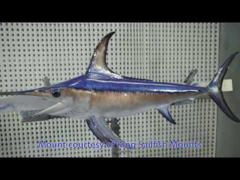 Billfish Identification   Swordfish