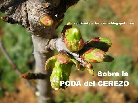 Sobre la poda del cerezo. Árbol frutal.