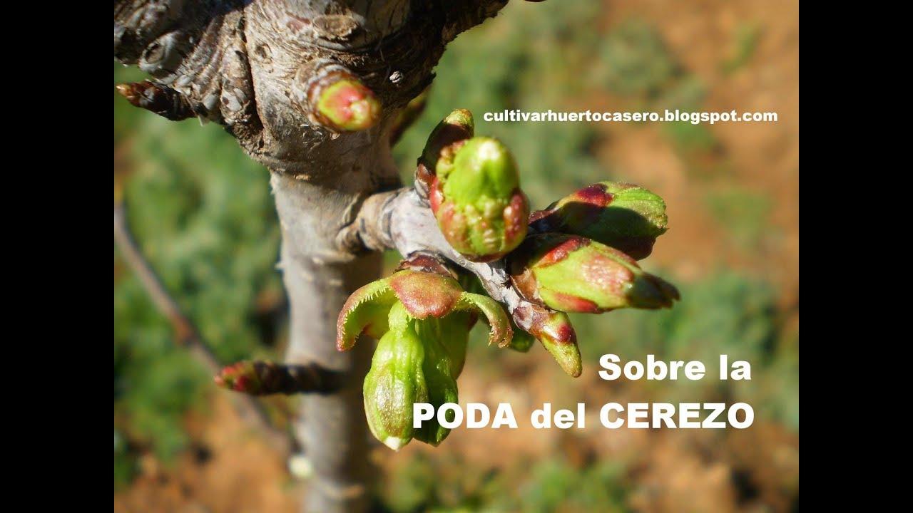 Sobre la poda del cerezo rbol frutal youtube - Poda del cerezo joven ...