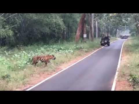 TIGER CUBS CROSSING ROAD.... Sathyamangalam Wildlife Sanctuary