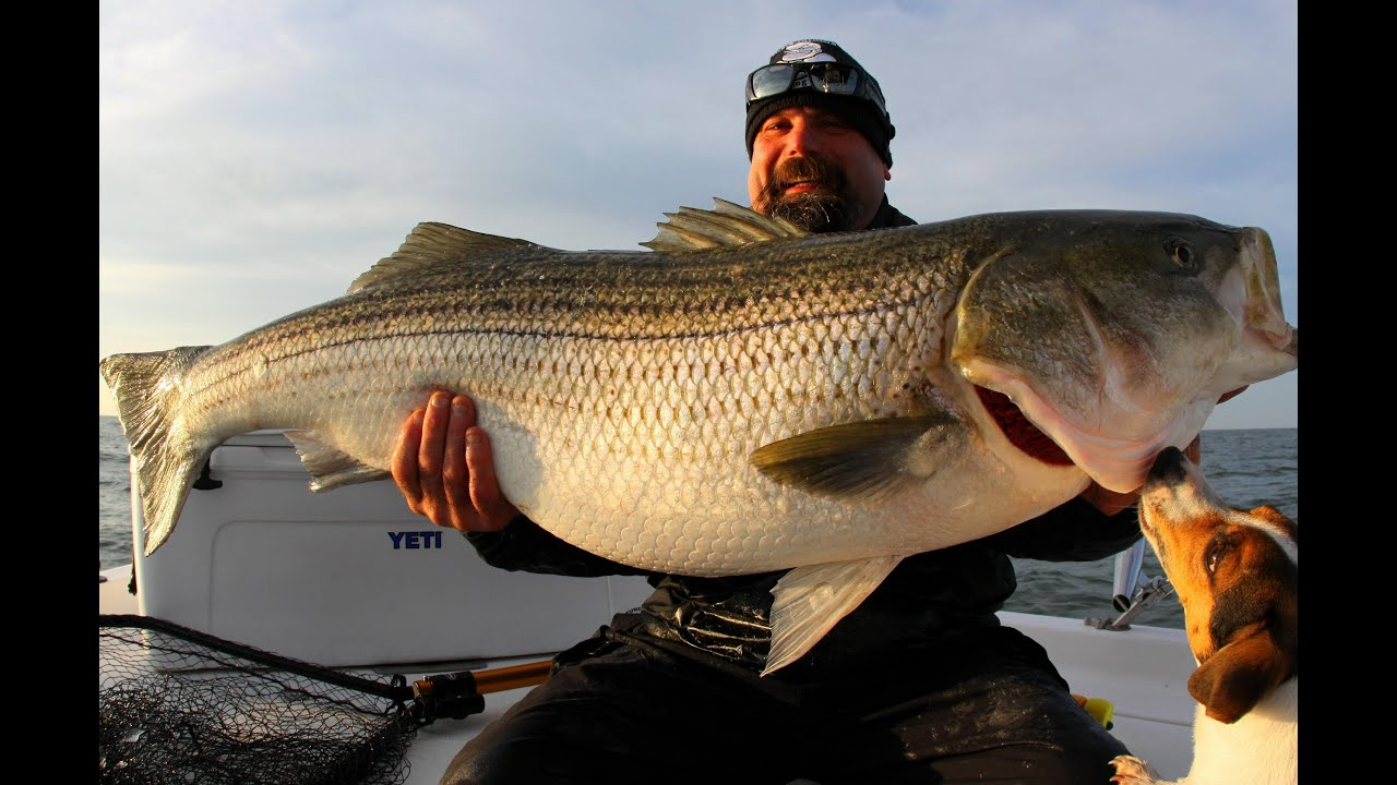 one really big striper! striped bass fishing chesapeake bay. giant, Fishing Reels