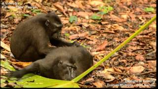 Repeat youtube video A day in their life - Sulawesi crested black macaque