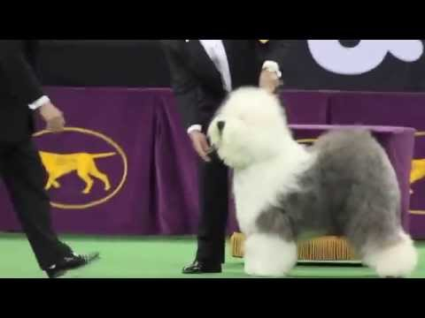 Westminster Kennel Club Dog Show - Crowd roars for Old English Sheepdog