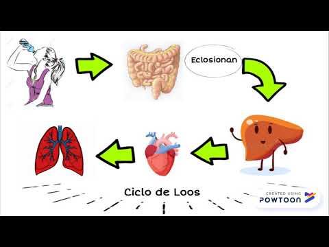 qual é o ciclo de vida de ascaris lumbricoides