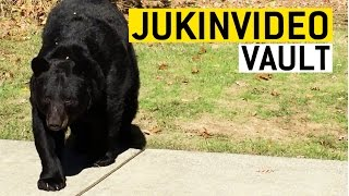 Bears Are the Best Compilation from the JukinVideo Vault