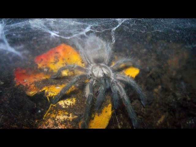 Fastest spider ever! You will not believe your eyes! (Monocentropus balfouri) [Inferion7]