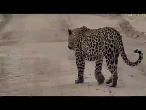 Safari Live : Tingana Male Leopard on drive this morning Feb 21, 2017