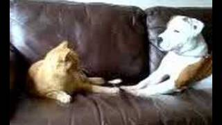 Staffordshire Bull Terrier Plays With Cat