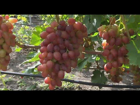 Самые крупные сорта винограда 2019г на моем винограднике