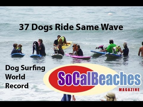 Dog Surfing World Record Ride 37 Dogs at Once Del Mar