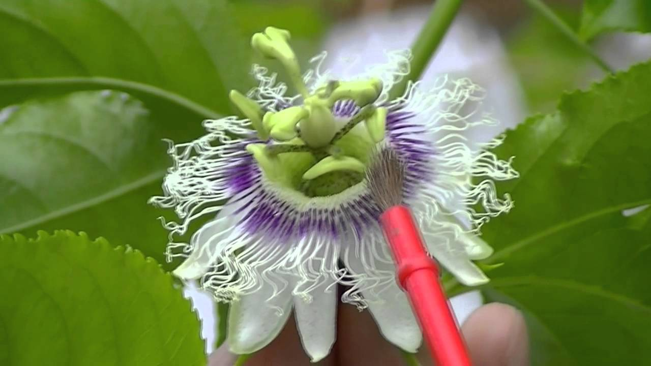 How to pollinate passion fruit flowers - YouTube