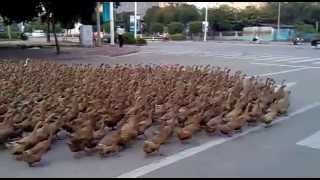 china. flock of  ducks crossing a highway