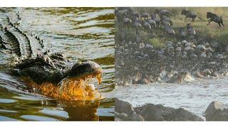 Wildebeest migration|Crossing crocodile infested Mara river to Serengeti video