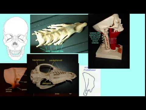 CLADOGRAM: THERIAN MAMMALS
