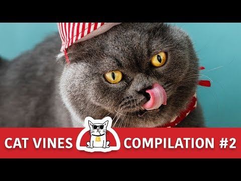 Cat Vines Compilation & Funny Moments | Try Not to Laugh Challenge