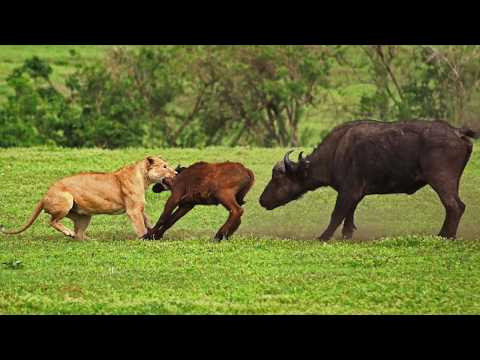 LIONS ON THE HUNT, Tansania: Amazing Planet (4K) 2020