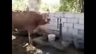 Содержание коровы в домашних условиях