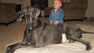 Гиганты собачьего мира