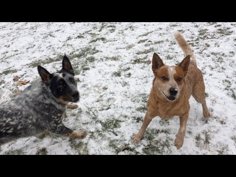 Frozen Ice Ball Fetch | Australian Cattle Dogs