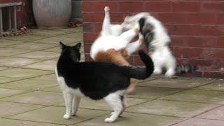 Craziest Cat Fight  4K  Original
