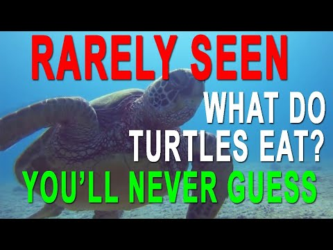 Scuba Dive Hawaii - Hawaiian Green Sea Turtle Eats a Sponge