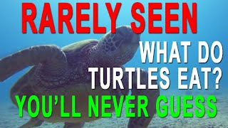 Hawaii Green Sea Turtle Eating - Cool Video