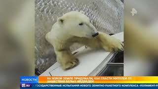 видео: Жителей Новой Земли спасут от белых медведей