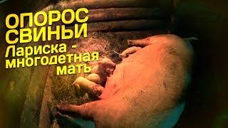 Опорос свиньи // Лариска – многодетная мать // Жизнь в деревне