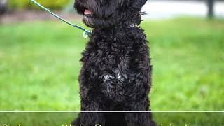 Portuguese Water Dog  Dog Breed  Pet Friend