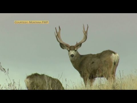 Threat of chronic wasting disease moves closer to Yellowstone National Park