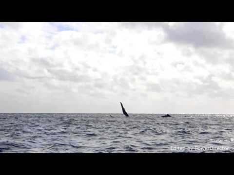 Niue Island - Dolphins and Whales