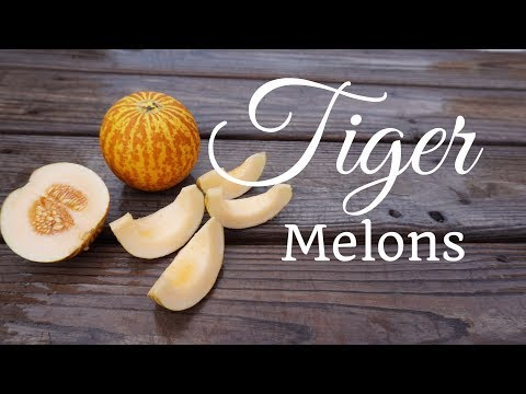How to Grow Tiger Melons (Vertically on a Trellis)