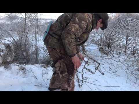 Охота на бобров, установка капканов на бобра.