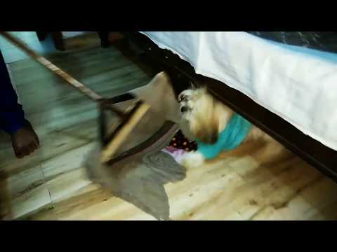 Lhasa apso funny compilation video