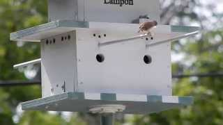 House Wren Couple Building Nest