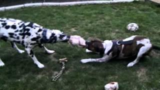 Dalmatian & Boxer Cross Playing