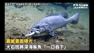 震撼畫面曝光!大石斑將深海鯊魚「一口吞下」