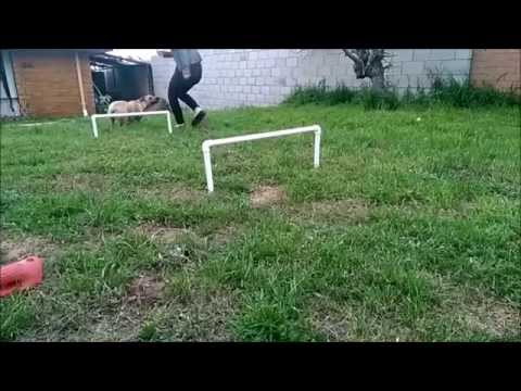 Rescue Puppy Jumping Dog Hurdles in Slow Motion. Part 1