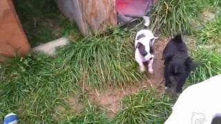 Chihuahua Baby's Aus Ch-zucht