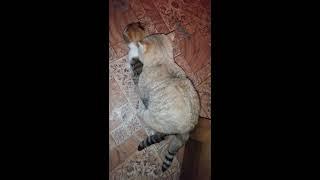 Вязка.Ненасытный котик.Любит кошечек.