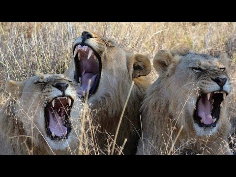 Poachers Devoured By Lions While Attempting To Slaughter Herd Of Rhinos