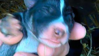 Первые роды у собаки. Как рожают собаки щенков