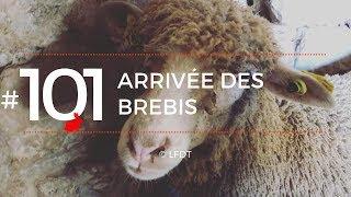 ARRIVEE DES BREBIS │LFDT #101